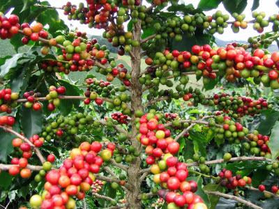 دانه های رنگی قهوه - کلبه ی ایرانیان